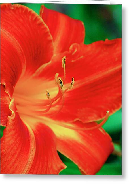 Red, Orange And Yellow Lily Greeting Card