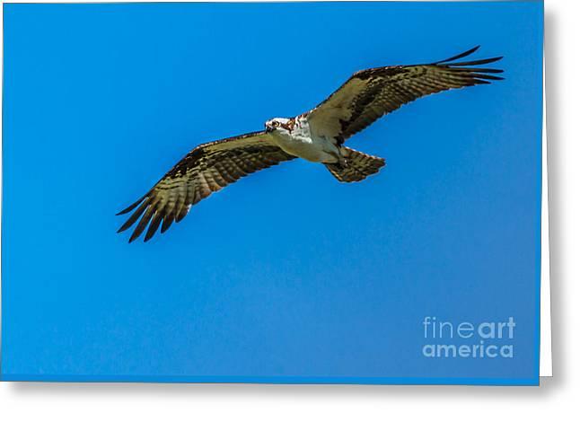 Soaring Osprey Greeting Card