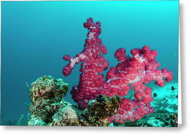 Soft Coral (dendronephthya Greeting Card by Pete Oxford