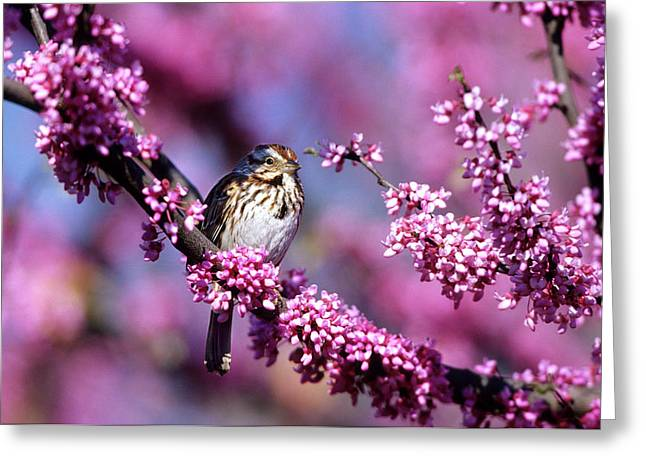 Song Sparrow (melospiza Melodia Greeting Card by Richard and Susan Day