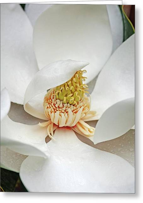 Southern Magnolia (magnolia Grandiflora) Greeting Card by Dr. Nick Kurzenko