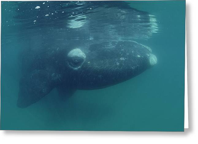Southern Right Whale Peninsula Valdez Greeting Card