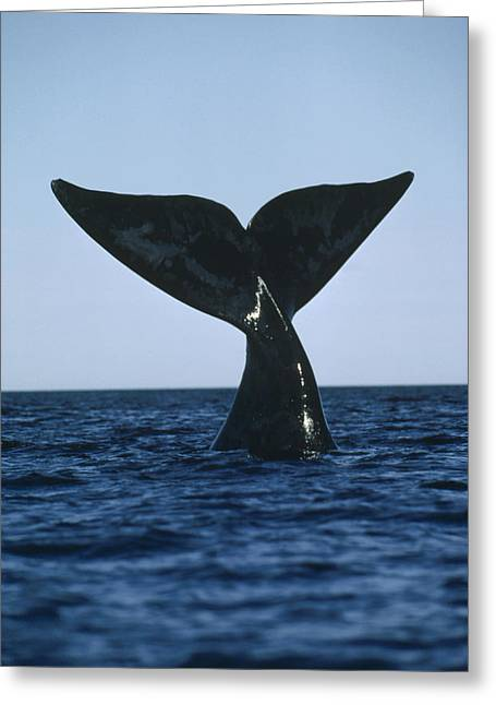 Southern Right Whale Tail Peninsula Greeting Card