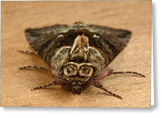 Spectacle Moth Greeting Card