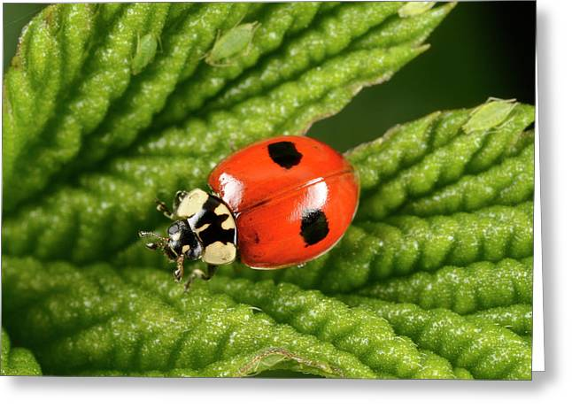 2-spot Ladybird Greeting Card by Nigel Downer