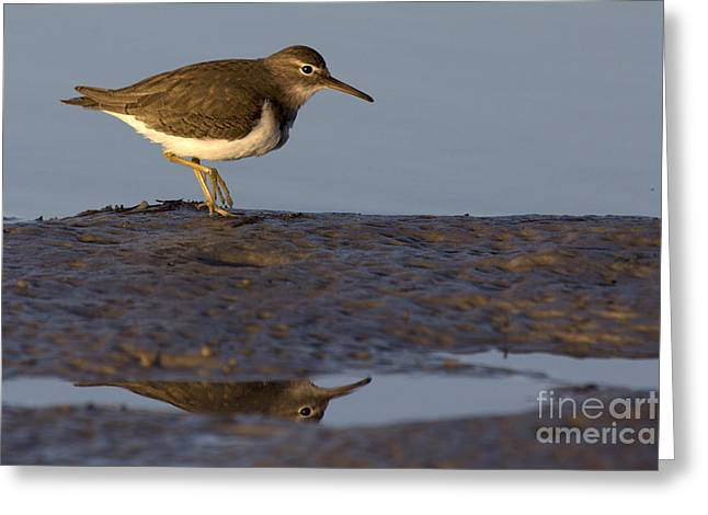 Spotted Sandpiper Reflection Greeting Card