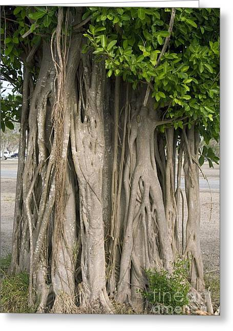 Strangler Fig Ficus Aurea Greeting Card by Bob Gibbons
