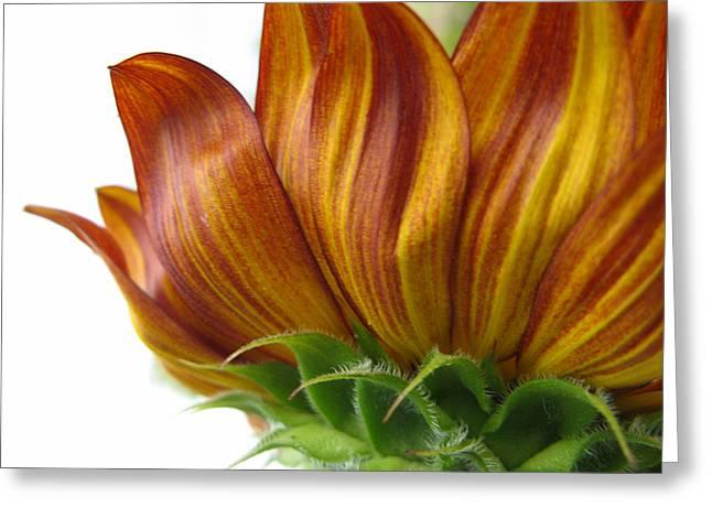 Sunflower  Greeting Card by Dan McCafferty