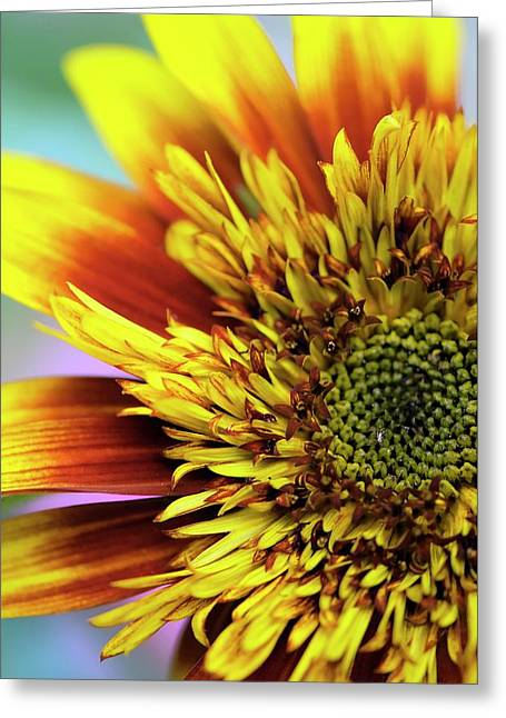 Sunflower (helianthus Annuus) Greeting Card