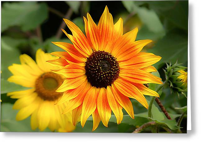 Sunflowers Greeting Card by Dennis Bucklin