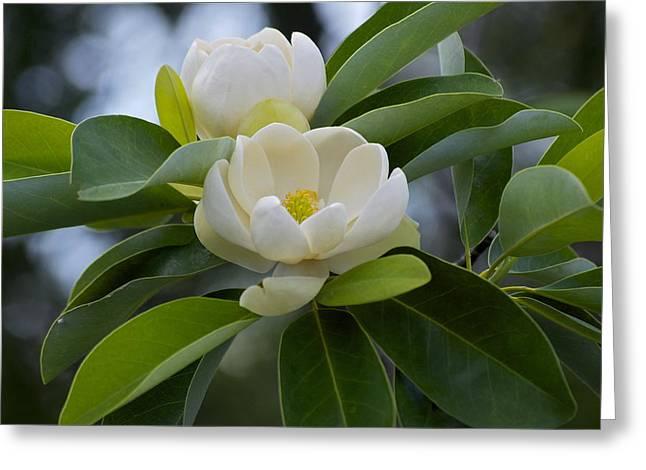 Swamp Magnolia Greeting Card