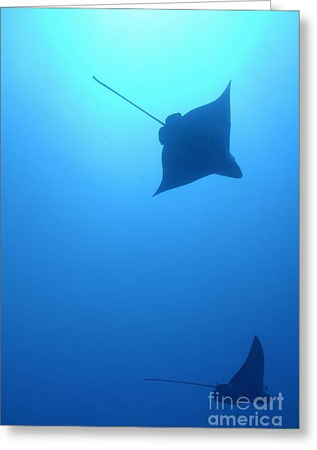 Swimming Spotted Eagle Rays Greeting Card