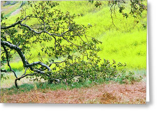 Sycamore Tree In Mustard Field Greeting Card by Panoramic Images