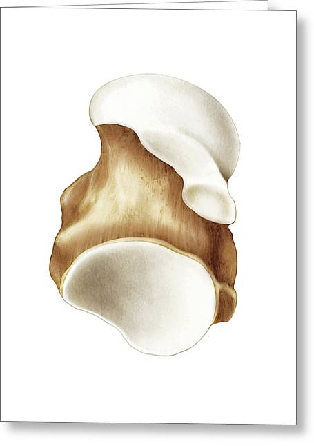 Talus Bone Greeting Card