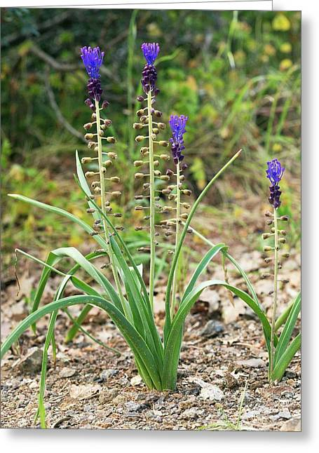 Tassel Hyacinth (muscari Comosum) Greeting Card