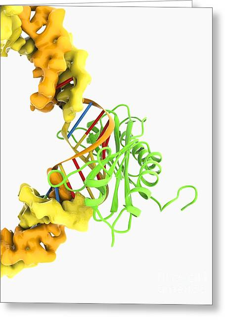 Tata Box-binding Protein Complex Greeting Card by Ramon Andrade 3dciencia