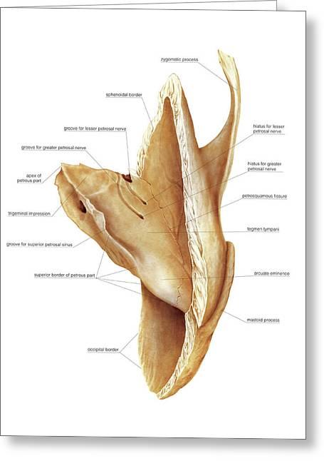 Temporal Bone Greeting Card by Asklepios Medical Atlas