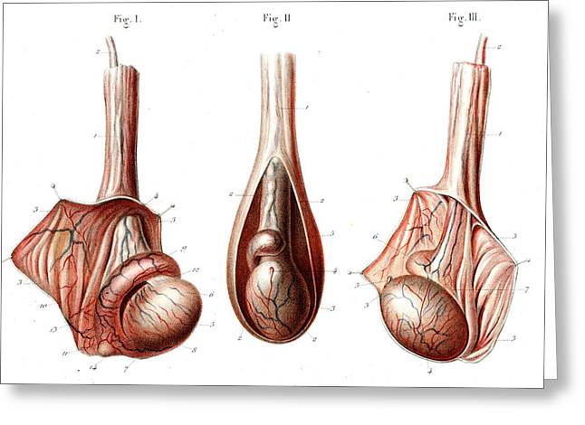 Testicle Anatomy Greeting Card by Collection Abecasis