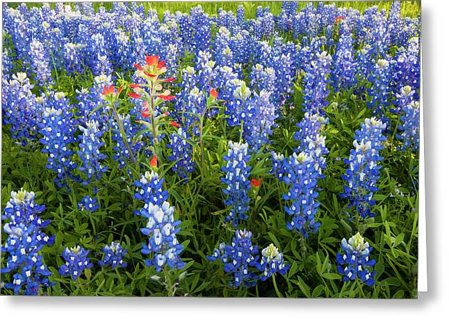 Texas Bluebonnets (lupinus Texensis Greeting Card