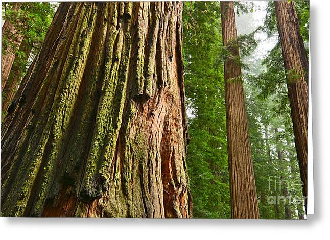 The Beautiful And Massive Giant Redwoods Sequoia Sempervirens In Redwoods National Park. Greeting Card