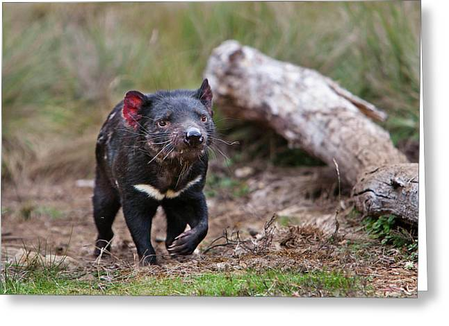 The Tasmanian Devil (sarcophilus Greeting Card by Martin Zwick