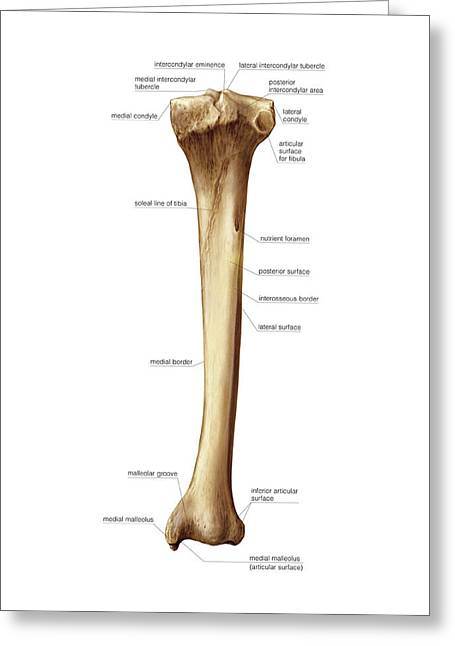 Tibia Greeting Card by Asklepios Medical Atlas