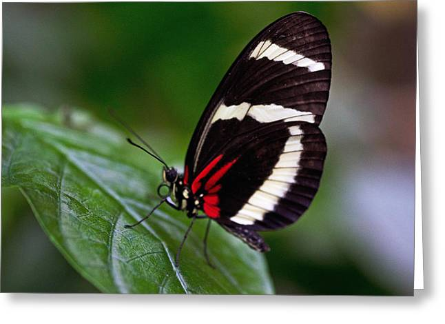 Tiger Longwing Greeting Card by Cheryl Cencich
