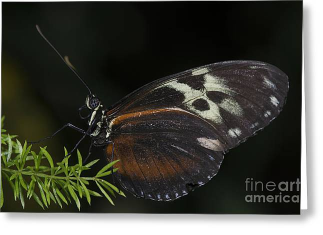 Tiger Longwing Greeting Card