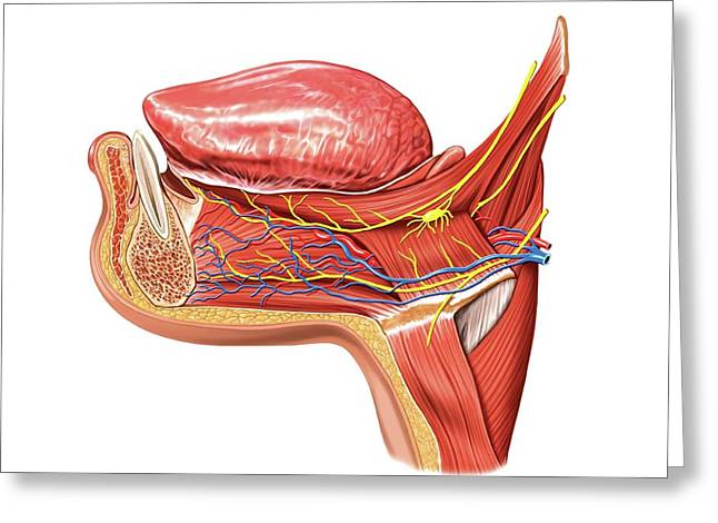 Tongue And Oral Floor Greeting Card by Asklepios Medical Atlas