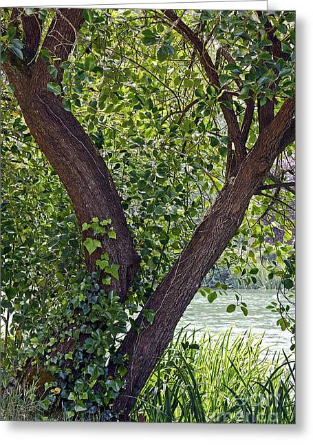 Greeting Card featuring the photograph Tree At Stow Lake by Kate Brown
