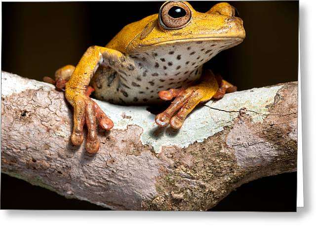 Tree Frog On Twig In Rainforest Greeting Card