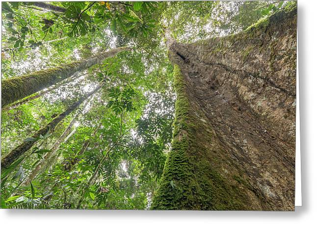 Tree With Buttress Roots Greeting Card