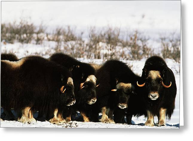 Usa, Alaska, Arctic National Wildlife Greeting Card