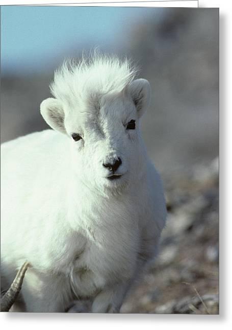Usa, Alaska, Dall Sheep, Dall Lamb Greeting Card