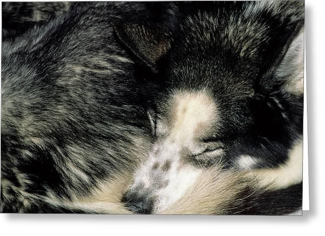 Usa, Alaska, Sled Dogs, Dog Sledding Greeting Card