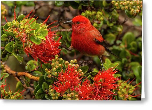 Usa, Hawaii, Hakalau Forest National Greeting Card by Jaynes Gallery