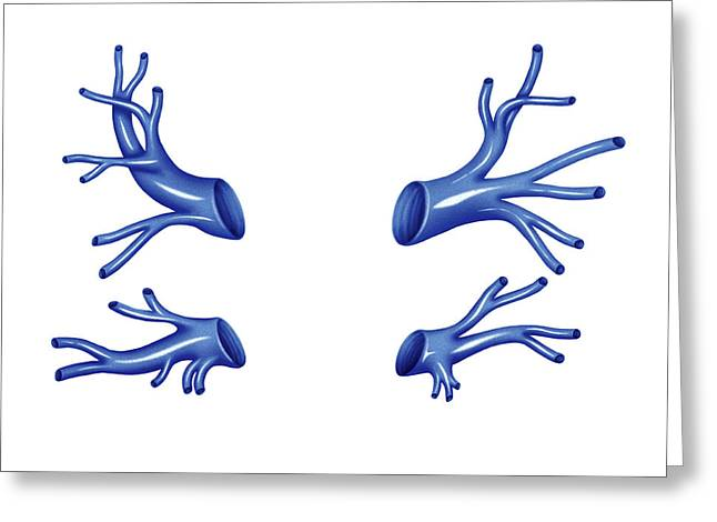 Venous System Of The Thorax Greeting Card