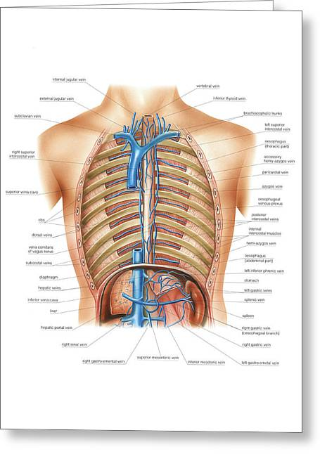 Venous System Of The Torso Greeting Card
