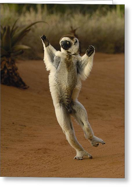 Verreauxs Sifaka Hopping Berenty Greeting Card by Pete Oxford