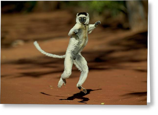 Verreauxs Sifaka Propithecus Verreauxi Greeting Card by Cyril Ruoso