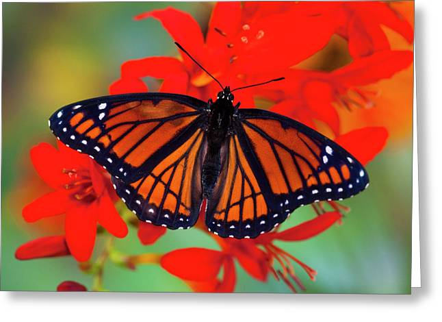 Viceroy Butterfly A Mimic Greeting Card
