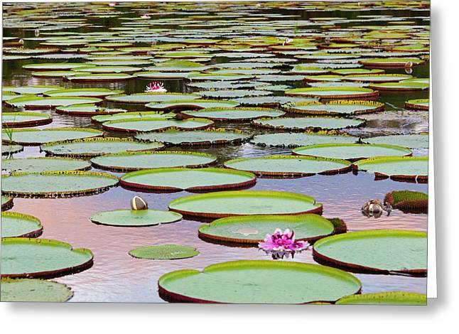 Victoria Amazonica Lily Pads Greeting Card