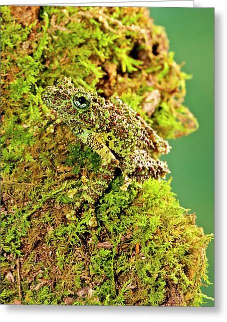 Vietnamese Mossy Frog, Theloderma Greeting Card by David Northcott