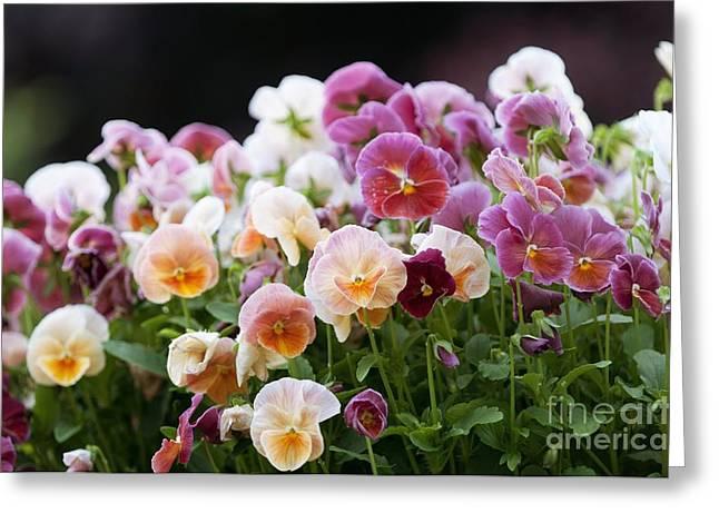 Viola Light Strawberry Sundae Greeting Card by Maria Mosolova