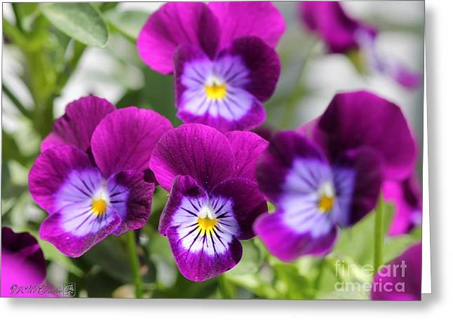 Viola Named Sorbet Plum Velvet Jump-up Greeting Card by J McCombie
