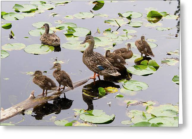 Wa, Juanita Bay Wetland, Mallard Female Greeting Card