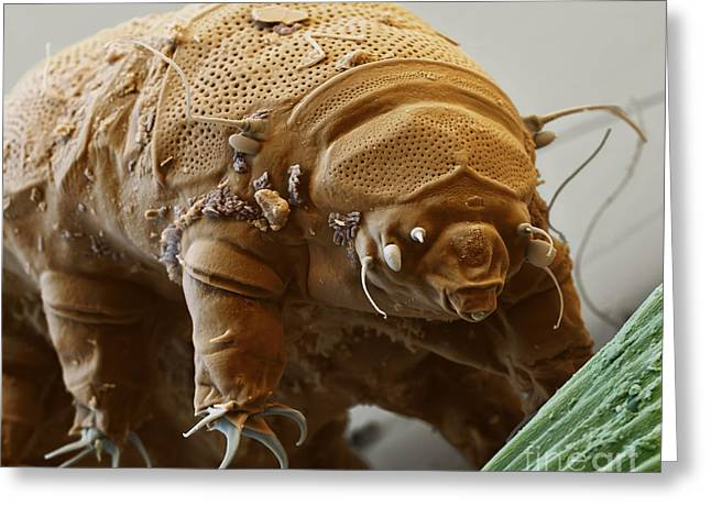 Water Bear Greeting Card by Eye of Science and Science Source