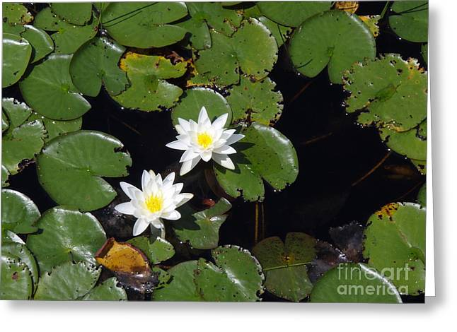 Greeting Card featuring the photograph 2 Water Lily by Robert Nickologianis