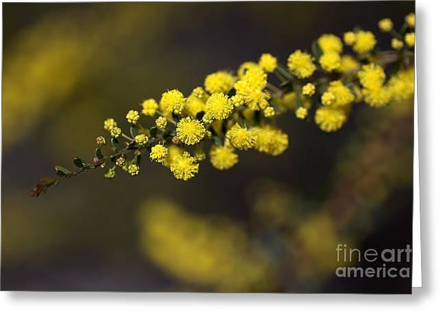 Wattle Flowers Greeting Card by Joy Watson