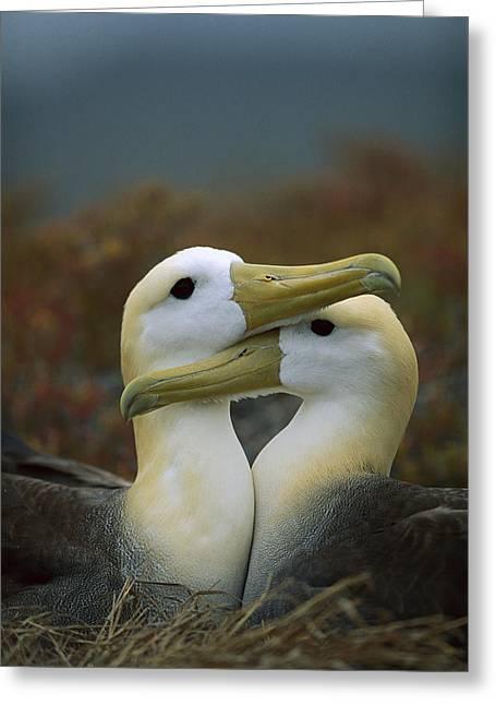 Waved Albatross Pair Bonding Galapagos Greeting Card by Tui De Roy